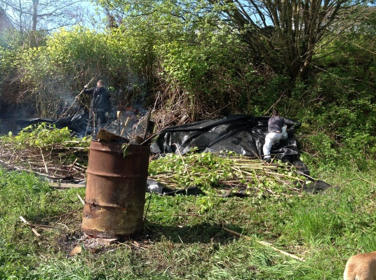 Clearing and burning the japanese knotweed