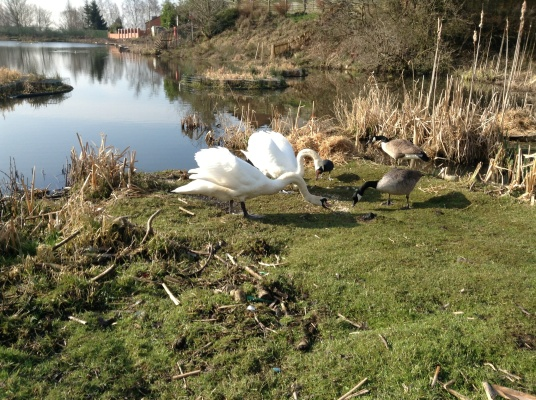 Swans and Geese feeding