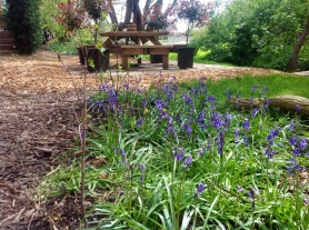 Bluebells infront of picnic table