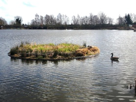 Geese and Coot nesting on island