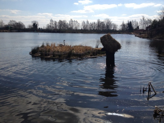 Trying to build swan nest on island with bale of straw