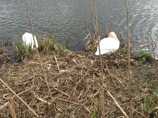 The swans have laid two eggs