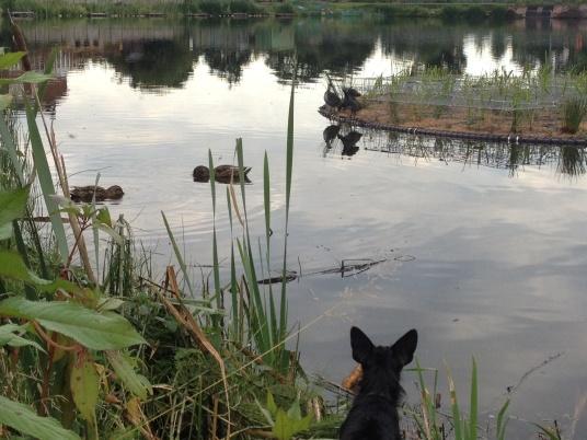 tiki checking out the ducks